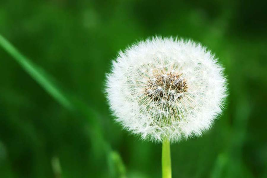 White dandelion on grassy glade background, Does an Air Conditioner Help With Allergies? | AC, Service, Maintenance