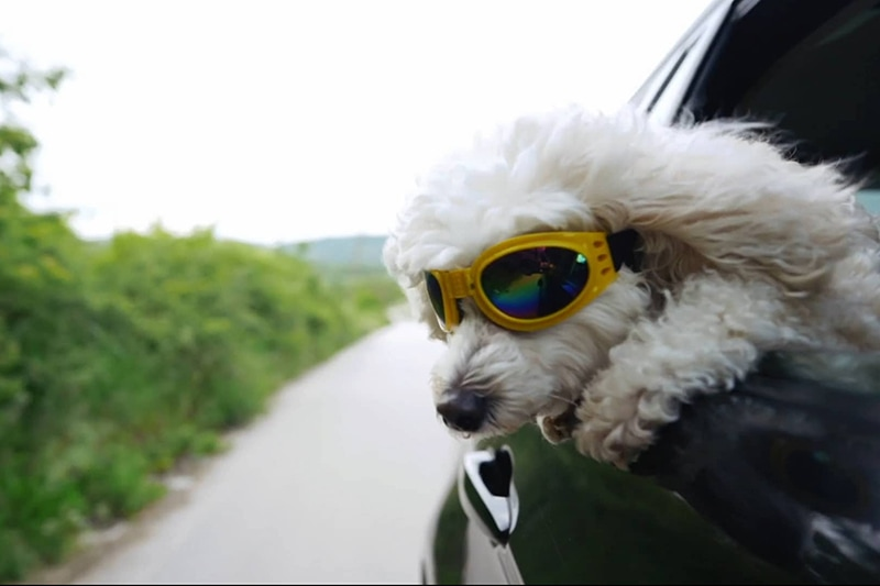 Dog wearing yellow glasses hanging its head out of a car, Video - Stay Cool During the Summer | HVAC Maintenance | Wenatchee