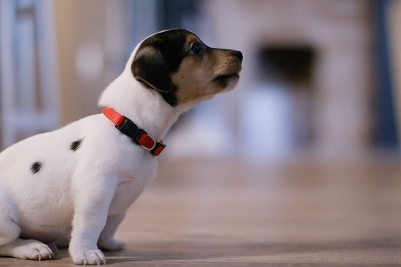 Small puppy sitting on the floor wearing a red collar, Video - Does Indoor Air Quality Affect My Pet? | Alpine Aire